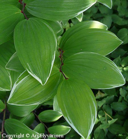 Polygonatum odoratum var  pluriflorum 'Variegatum