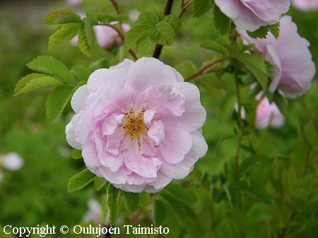 blandaruusu blandaros rosa blanda ryhm  228  herttoniemi korkeus 2 m    Rosa Blanda